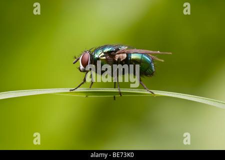Greenbottle fly (Lucilia caesar) - Stock Photo