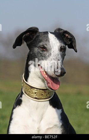 Galgo Espanol, portrait - Stock Photo
