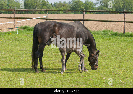 Mare with 2 days old foal at pasture - Stock Photo