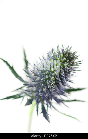 sea holly thistle type flower close up - Stock Photo