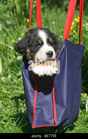 Bernese Mountain Dog puppy, 7 weeks old, sitting in a carrier bag - Stock Photo