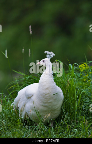 White peafowl (Pavo cristatus mut. Albacares), hen - Stock Photo