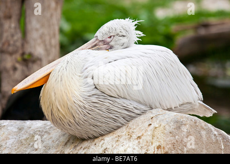 Pink-backed Pelican (Pelecanus rufescens) - Stock Photo