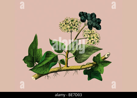 Ivy, historical illustration - Stock Photo