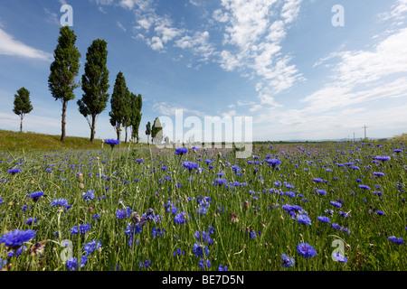 Flower meadow with cornflowers (Centaurea cyanus), Marchfeld, Lower Austria, Austria, Europe - Stock Photo
