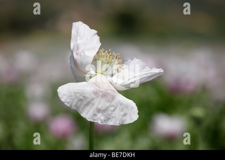 Bloom of an Opium Poppy (Papaver somniferum), Austria, Europe - Stock Photo