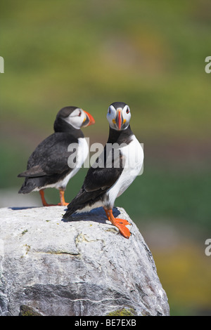 Atlantic Puffins Fratercula arctica perched on cliff face in Northumberland, UK in June. - Stock Photo
