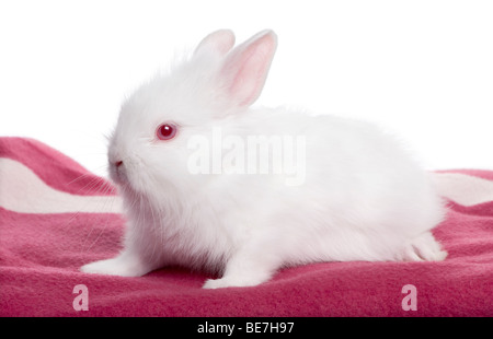 Brown baby rabbit, 5 weeks old in front of a white background, studio shot - Stock Photo