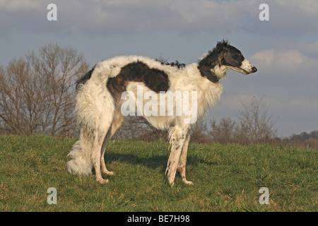 Borzoi standing on a meadow, sideways - Stock Photo