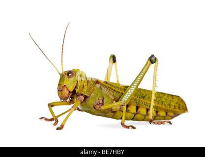 Side view Giant guianas locust, Tropidacris collaris, against white background, studio shot - Stock Photo