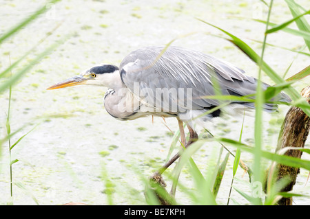 Grey Heron Ardea cinerea fishing n reed beds Welsh Wildlife Centre Cilgerran Cardigan Pembrokeshire Wales Cymru - Stock Photo
