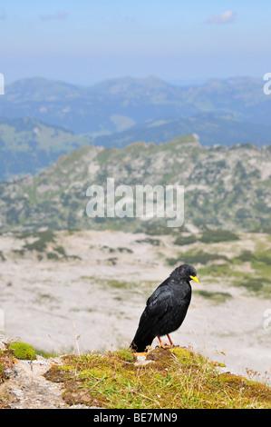 Alpine Chough Pyrrhocorax graculus on top of the mountain Hoher Ifen, Vorarlberg, Allgaeu Alps, Austria, Europe Stock Photo