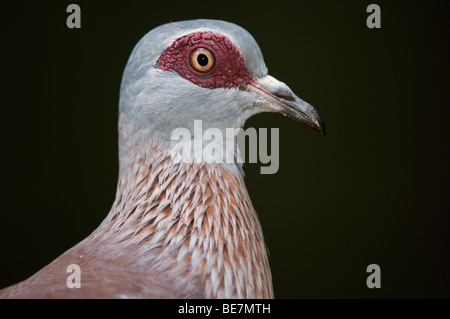 Speckled pigeon (Columba guinea), Lake Baringo, Kenya - Stock Photo