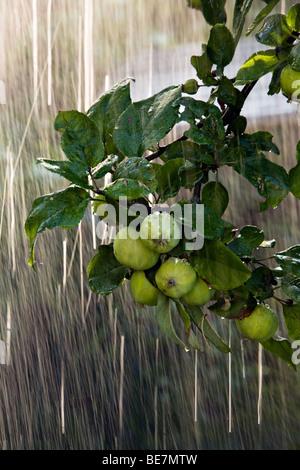 Falling waterdrops over apple tree in the garden Jurmala Latvia - Stock Photo