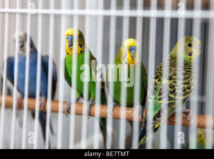 Budgerigars in a cage at the pet market in Qatar's Souq Waqif in the capital, Doha - Stock Photo