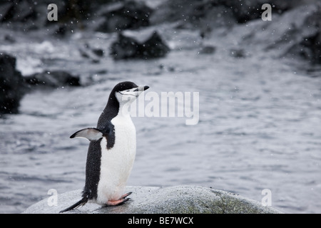Happy Chinstrap Penguin stretching standing on rock in water wings spread out eyes closed enjoying cold weather - Stock Photo