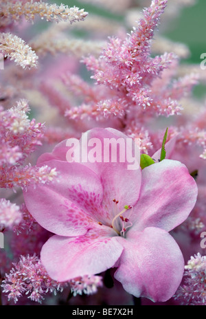 Rhododendron and Astilbe blossoms close up. Oregon - Stock Photo