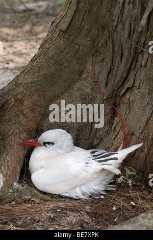 Red-tailed Tropicbird, Phaethon rubricauda rothschildi, nesting Midway Atoll - Stock Photo