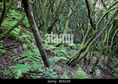 Thick laurel forest at Garajonay National Park, La Gomera, Canary Islands, Spain, Europe - Stock Photo