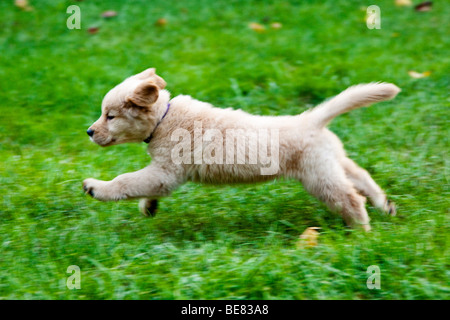 Eight week old Golden Retriever puppy running on the grass. - Stock Photo