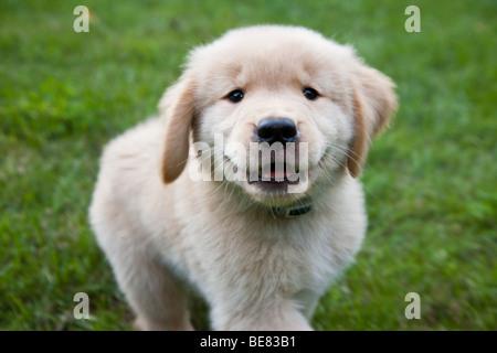 Eight week old Golden Retriever puppy. - Stock Photo