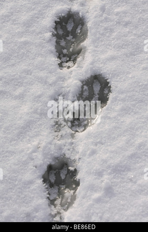 Footprints of European beaver in snow on ice - Stock Photo