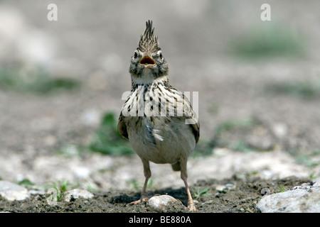 Crested Lark (Galerida cristata) singing - Stock Photo