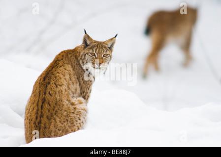twee europese lynxen in sneeuw; two european lynx in snow - Stock Photo