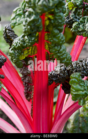 chard plant on a allotment in Birmingham uk - Stock Photo
