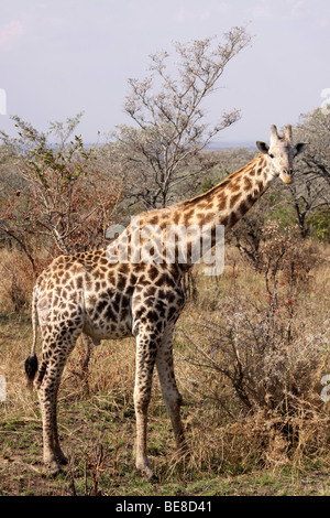 Southern Giraffe Giraffa camelopardalis giraffa In The Kruger National Park, South Africa - Stock Photo