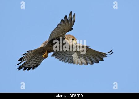 Biddende vrouw Torenvalk met een blauwe lucht; Hoovering female Kestrel against a blue sky - Stock Photo