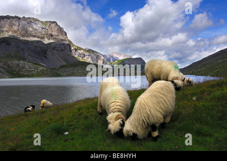 Sheep of the Valais Blacknose breed grazing on an alpine pasture along the shore of a mountain lake, Valais, Switzerland, - Stock Photo