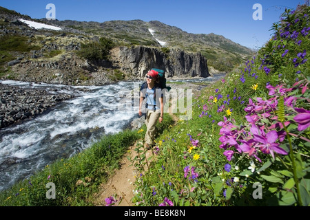 Young woman hiking, backpacking, hiker with backpack, passing blooming alpine flowers, historic Chilkoot Trail, - Stock Photo