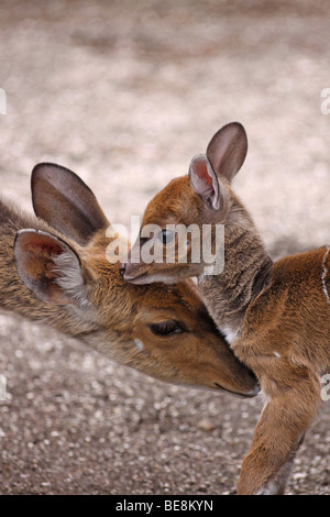 Female Bushbuck Tragelaphus sylvaticus With Fawn Taken in Kei Mouth, South Africa - Stock Photo
