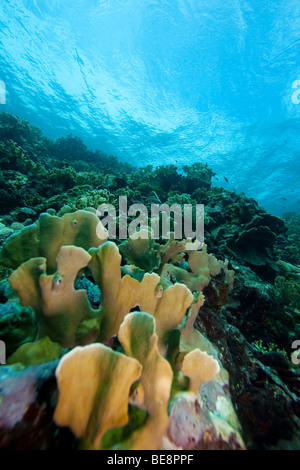 Blade Fire Coral (Millepora complanata) on a tropical reef, Bonaire, Netherlands Antilles. - Stock Photo