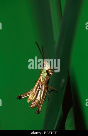 Krasser (Chorthippus parallelus) op stengel, Belgi Meadow grasshopper (Chorthippus parallelus) on stem, Belgium - Stock Photo