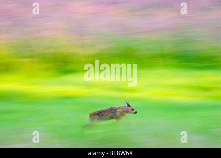 a few weeks old Roe deer calf running through meadow; een enkele weken oude reekalf rent door grasland in laatste - Stock Photo