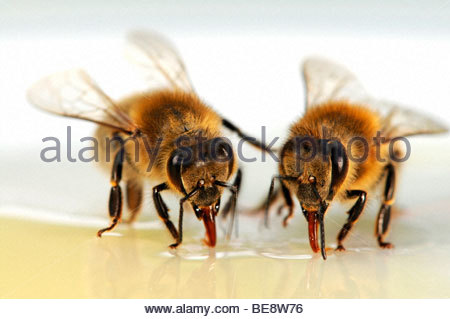 Honey bees (Apis mellifera) - Stock Photo