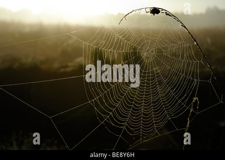 Web of an orb-web spider in backlight, Breitenburger Moor marsh, Schleswig-Holstein, Germany, Europe - Stock Photo