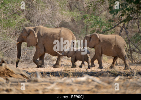 African Bush Elephants (Loxodonta africana) with young animals, in the Ugab river valley, near Mt Brandberg, Namibia, - Stock Photo