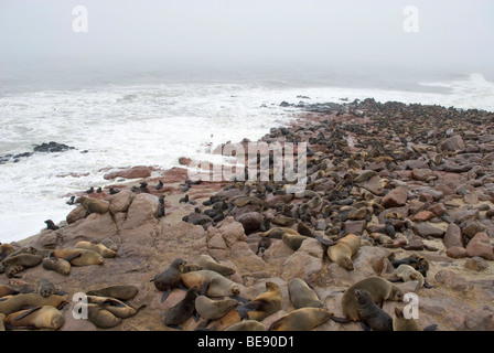 Brown Fur Seals (Arctocephalus pusillus), colony, on Cape Cross, Namibia, Africa - Stock Photo