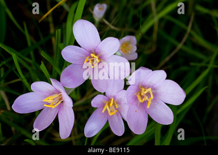 Autumn Crocus (Colchicum autumnale) in a meadow in the morning dew - Stock Photo