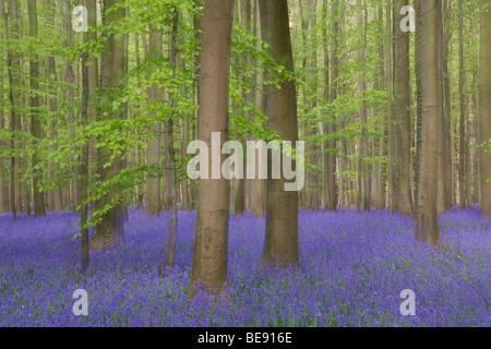 Bloeiende hyacinthen en beuken in het Hallerbos; flowering bluebells with beeches in Haller forest - Stock Photo