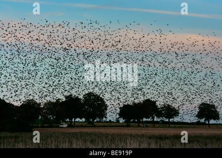 Large flock of starlings (Sturnus vulgaris) at their roost - Stock Photo