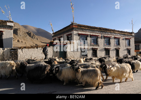 Herd of sheep and goats crossing through a farming village in front of traditional Tibetan farmhouses with Sakya - Stock Photo