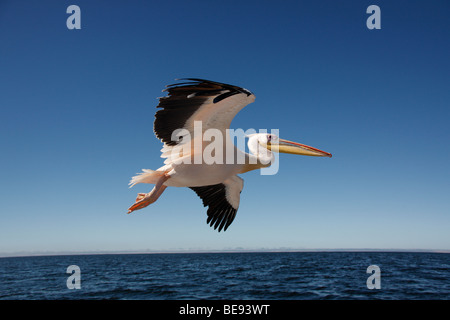 Great White Pelican (Pelecanus onocrotalus) in Sandwich Bay on the coast of Namibia - Stock Photo