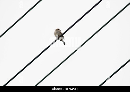 House Sparrow (Passer domesticus) on a power line with 4 lines - Stock Photo