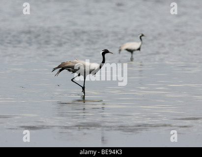 Demoiselle Crane standing in the water accompanied by an second specimen - Stock Photo