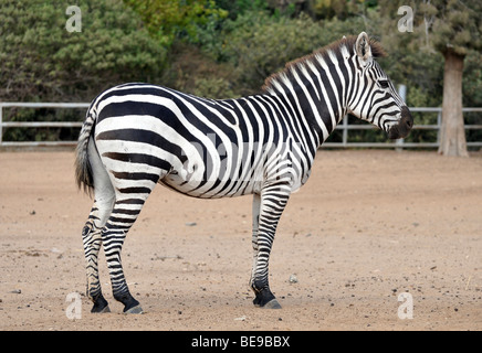 Side view of a Grevy Zebra (Equus grevyi) in captivity - Stock Photo