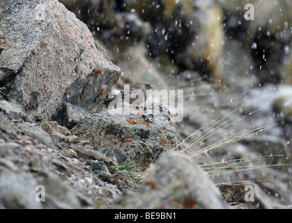 A crouching Plain Mountain Finch on a rock in a snow flurry - Stock Photo